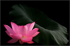 Lotus Flower and the Leaf - IMG_8697 - , , ,  , Fleur de Lotus, Lotosblume, , , (Bahman Farzad) Tags: china pink flowers red plants india inspiration flower color macro nature water fleur yoga tattoo de thailand flora truth cambodia peace lily lotus blossom natur calming peaceful blumen natura teacher sacred therapy budha elegant fiori inspirational spiritual simple hindu colori soulful heavenly buda tatto natures peacefulness devine   lotusflower flori therapist lotusflowers lotuspetal  lotuspetals  lotosblume   soulfulflower lotusflowerpetals lotusflowerpetal