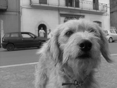 (GIOVANNA SCOTO ERIUGENA) Tags: street urban italy dog cars cane nose orlando strada italia corso benevento guardiasanframondi samsungs750