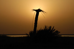 remnants of palm (aZ-Saudi) Tags: shadow sky love silhouette sunrise palms landscape perfect photographer pics arabic saudi arabia l  ksa remainder the  alhasa    goldenmix abigfave   arabin theunforgettablepictures goldstaraward  arabs