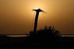 remnants of palm (aZ-Saudi) Tags: shadow sky love silhouette sunrise palms landscape perfect photographer pics arabic saudi arabia l شمس ksa remainder the الصيف alhasa شاطئ السعودية شروق goldenmix abigfave منتزه الاحساء arabin theunforgettablepictures goldstaraward العقير ِarabs