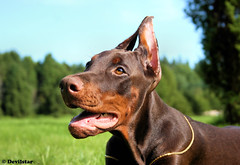 Campary (Devilstar) Tags: summer dog baby brown cute puppy outdoors super land doberman pinscher dobermann flox campary  legrant