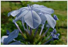 (Ricardo Cosmo) Tags: blue flower macro azul flor ashotadayorso araquem