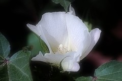 A Cotton Flower