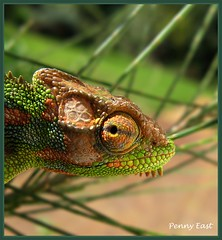 You Again????? (pennyeast) Tags: macro nature animal garden southafrica reptile wildlife capetown explore mygarden chameleon herpetology reptilia bergvliet chamaeleonidae papaalphaecho bradypodionpumilum capedwarfchameleon