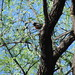 Lowland Painted Redstart Sabino / Bear Canyon IBA April 16 2007 011