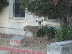 Deer (Tiburon, California, United States) Photo