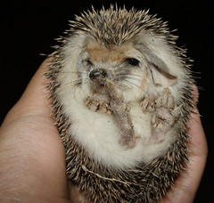 Hedgehog at Night - Chapter Three: The Cutie (BlueLunarRose) Tags: baby cute nature animal night hedge hedgehog cuteanimal
