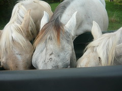 Three Little Pigs (Olizwell) Tags: horse pony pigs palomino foal yearling