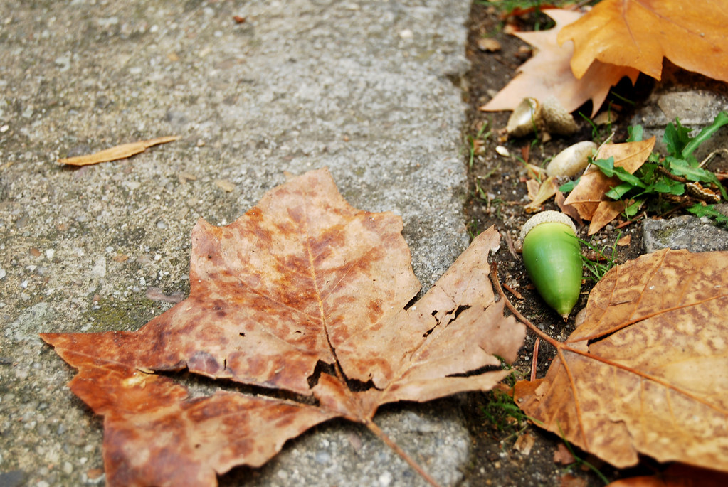 Acarn And Fallen Leaves