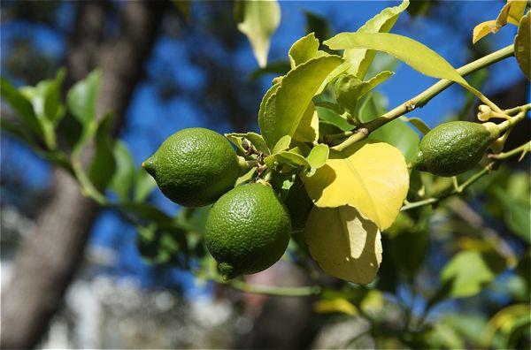 lemons_0159