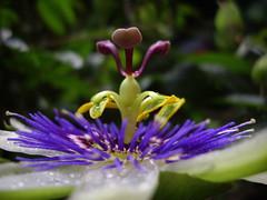 (scatz) Tags: garden october passiflora passionflower scatz