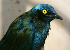Yellow eye - Cape Glossy Starling (u_sperling) Tags: blue italy green bird eye animal yellow geotagged botanicalgarden 1on1 meran capeglossystarling trautmansdorff geo:lat=46660968 geo:lon=11186828