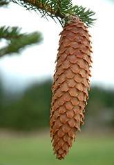Oregon Cone (Nick Boren Photography) Tags: tree pine oregon this is call pacific northwest cone going it fir to isnt because cones a not thepefectphotographer goldstaraward