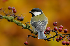 Great Tit (Parus major) (m. geven) Tags: autumn fall wet bravo herfst nat greattit parusmajor lookingback songbird koolmees gelderland kleur nld najaar meidoorn zangvogel nederlandthenetherlands interestingness88 backsideview gardenbird specanimal tuinvogel achteraanzicht holenbroeder algemenebroedvogel gemeentemontferland omkijken nestkastbewoner