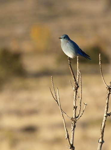 Bluebird on the Grasslands