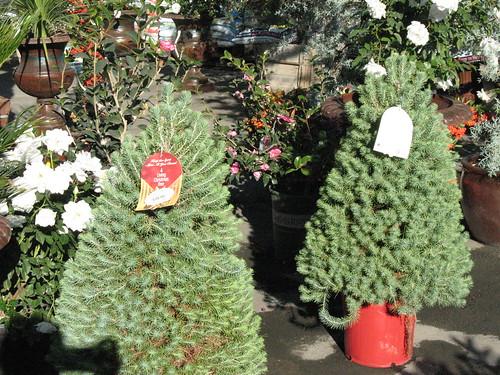 living christmas tree italian stone pine xmas