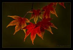 Maple Leaves (JKmedia) Tags: autumn shadow red tree fall leaves closeup backlight spiky maple seasons availablelight arboretum westonbirt backlit canoneos40d 15challengeswinner thechallengegame challengegamewinner jkmedia thepinnaclehof tphofweek33 pregamewinner