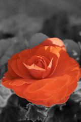 Red rose (Mark) Tags: red bw white black flower color colour rose