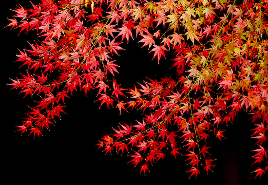 nighttime maple_1624