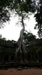 사원에 뿌리 박은 나무
