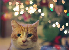 Saturday cat fever (~ielle~ ilarialuciani.com) Tags: christmas look cat bokeh iaia sguardo paco ila mybest gatto mycat pet500 ilarialuciani 100commentgroup 365bokeh saturdaycatfever