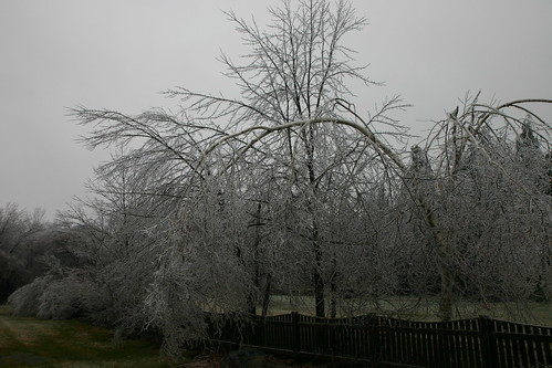 Trees bending under the weight of ice