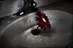 survival (Trust_in_Bob) Tags: life red flower nature contrast photoshop dark sink grow gritty growth survival