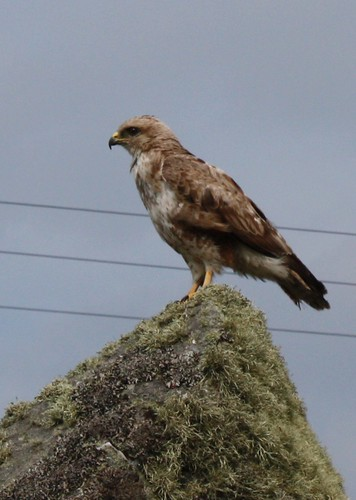 Buzzard on rock
