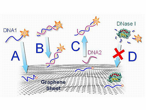 DNA Interacts with Graphene