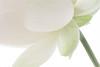 Lotus Flower petals - IMG_4540-1000 (Bahman Farzad) Tags: flower macro yoga peace waterlily lotus relaxing peaceful meditation therapy lotusflower lotuspetal lotuspetals lotusflowerpetals lotusflowerpetal