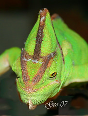 Green (Georgio's Photography) Tags: green geo lizards amimal georgio ilovemypic
