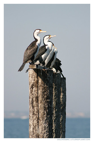 4 out of 5 Cormorants