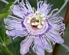IMG_4365 (jayme_blaschke) Tags: passiflora