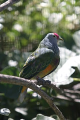 Male Magnificent Bird of Paradise (cmlburnett) Tags: pink male bird rose fruit dove regina sandiegozoo capped crowned ptilinopusregina ptilinopus rosecrownedfruitdove swainson fruitdove rosecrowned pinkcappedfruitdove swainsonsfruitdove pinkcrownedfruitdove pinkcrowned pinkcapped