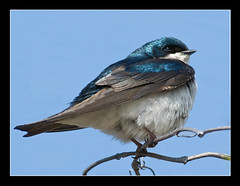 Tree Swallow @  Jamaica Bay Wildlife Refuge (NYC sharpshooter) Tags: life bird nature birds searchthebest wildlife images jamaica enjoy harmony nikkor vr refuge watcher treeswallow naturesfinest wildlifenature abigfave platinumphoto avianexcellence diamondclassphotographer flickrdiamond thebestoftheday lenscraft jamaicarefuge 80mm400mm