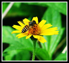 Starters (Midhun Manmadhan) Tags: flower nature yellow bee pollination canonpowershots3is