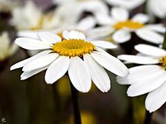 Monday (Paco CT) Tags: white flower blanco yellow spain dof flor amarillo daisy margarita catalunya mura 2008 vegetal enfoqueselectivo ltytr2 ltytr1 pacoct