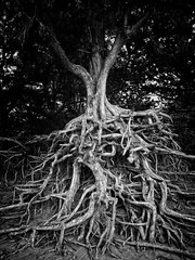 The Giving Tree (Breslow) Tags: bw tree hawaii blackwhite roots erosion save10 ricohgrdigital npali breslow savedbydmu kauai grdii