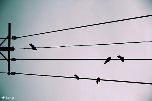 Tại sao chim đậu trên dây điện trần mà không bị giật?
