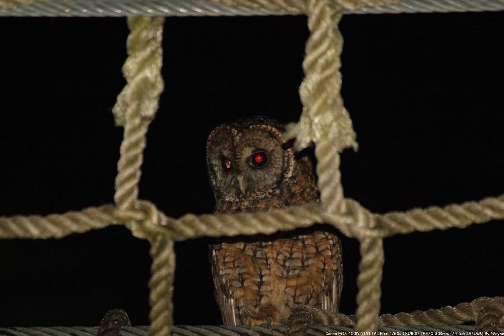 Tawny Wood Owl 灰林鴞 - IMG_8865
