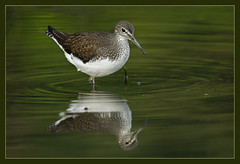 Sandpiper surprise (hvhe1) Tags: bird nature animal bravo searchthebest wildlife waterfowl sandpiper tringaochropus interestingness9 naturesfinest supershot specanimal hvhe1 hennievanheerden visiongroup avianexcellence witgatje