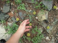 Gigantus desert parsleyus