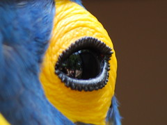 Parrot's eye (DrDoom2) Tags: barcelona eye colors birds ojo zoo big parrot aves 2008 loro ull lloro aviram
