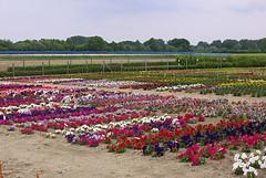Blumenplantage (Blue   Petunia) Tags: spring blumen münsterland frühling blüten plantage petunien fleissige lieschen jun08 liesen