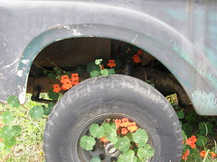 July-14-2008-03 (morgret) Tags: truck tire halfmoonbay nasturtium