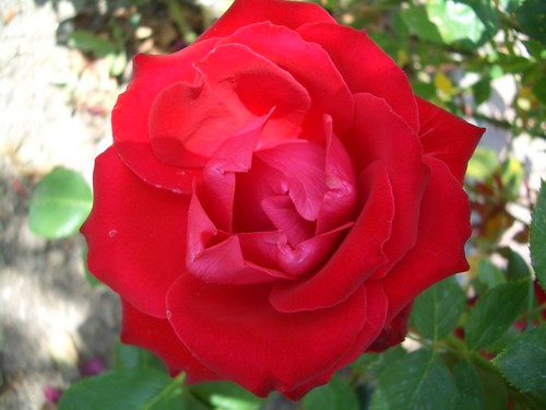 Rosa vermella a la Vaguada de Majadahonda
