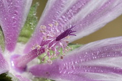 Unnamed (Esfrodl) Tags: flower macro violet tentacles