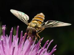 Hoverfly (Megashorts) Tags: uk macro nature 35mm bug insect fly wildlife thistle buckinghamshire flash olympus creepy milton keynes zuiko hoverfly crawly hover tattenhoe e510 episyrphus balteatus zd fl36 35mmmacro35 mkftattenhoe ppdcb4