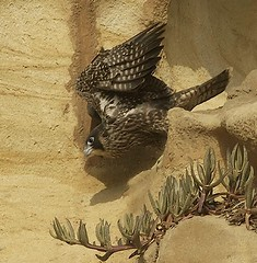 Peregrine Falcon Fledgling ready to leap (Will James Sooter) Tags: california bird sandiego flight coastal fledgling birdofprey peregrinefalcon falcoperegrinus willjamessooter
