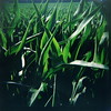 Lomo corn (kevin dooley) Tags: camera favorite color 120 film beautiful field closeup wow iso100 interesting fantastic lomo lomography corn cornfield flickr pretty close very good michigan gorgeous awesome award superior super best most velvia diana crop winner stunning excellent fujifilm medium format much expired incredible breathtaking exciting phenomenal